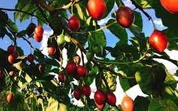 """Ào ạt trồng cà chua lạ """"giá triệu đồng/kg"""", nông dân """"lĩnh đủ"""""""