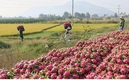 Nông dân Bình Thuận ăn Tết lớn nhờ thanh long có giá cao