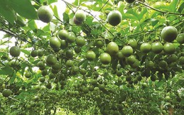 Vượt qua gạo, dầu thô: Khát vọng 10 tỷ USD của trái cây Việt