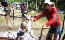Người nuôi cá tra lãi lớn