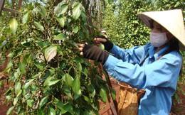 Diện tích trồng tiêu gấp 5 quy hoạch: Giá tiêu giảm, cây tiêu chết một người dân trồng thêm 10