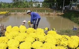 Đồng Tháp: Cúc mâm xôi nở sớm, người trồng hoa thất thu