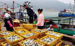 """Ngư dân phấn khích trúng đậm """"lộc biển"""" 4-5 tấn cá mỗi tàu"""