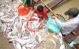 Người nuôi lãi to, cá tra giống lại thiếu