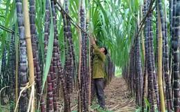 Chủ tịch Hiệp hội Mía đường: Có thể sử dụng biện pháp phòng vệ nếu ngành đường bị tổn hại