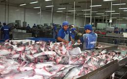 Giá cá tra ổn định trước khi DOC áp thuế