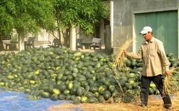 Giá dưa hấu tăng cao, người trồng lãi to