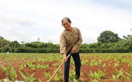 Đắk Lắk bỏ nghệ đầy đồng vì giá xuống thấp