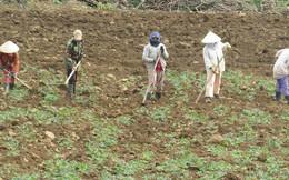 Phú Yên: Nhà máy thờ ơ với người trồng sắn