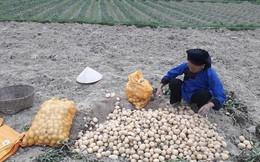 Nỗi lo sau giải cứu khoai tây ở Lạng Sơn