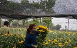 Nông dân Tây Tựu ngao ngán: Hoa cúc được mùa nhưng mất giá