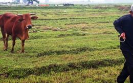 Vụ thu phí trâu, bò gặm cỏ: Yêu cầu trả lại cho dân trước ngày 30-4