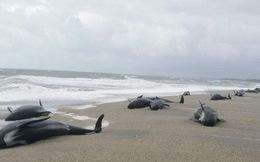 24h qua ảnh: Hàng chục con cá voi mắc cạn bí ẩn trên bờ biển New Zealand