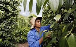 Người trồng hồ tiêu Lâm Đồng 'ngấm đòn' khi chạy theo cơn sốt