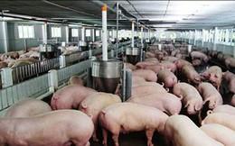 Lợn hơi tăng giá vùn vụt, dân mừng, Bộ lo