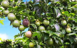 Không có doanh thu từ bò, bất động sản, Hoàng Anh Gia Lai lãi nhẹ quý 1 nhờ trái cây cứu cánh