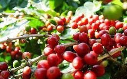 Giá cà phê giảm mạnh khi dự báo thời tiết Brazil bớt lạnh