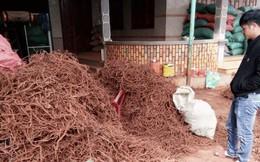 Cục Trồng trọt 'lên tiếng' việc nông dân đào rễ tiêu bán