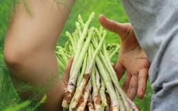 Chiêm ngưỡng vườn măng tây cho thu nhập gần 2 tỷ/năm