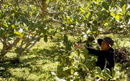 Ngành điều đồng loạt kiến nghị hỗ trợ nông dân và doanh nghiệp