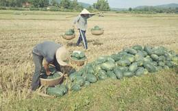 Người nông dân Quảng Nam, Quảng Ngãi lại khóc ròng vì giá dưa lao dốc
