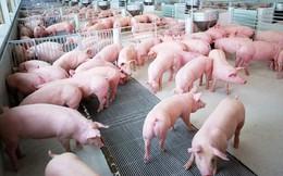 Giá lợn hơi giảm xuống 45.000 - 50.000 đồng/kg