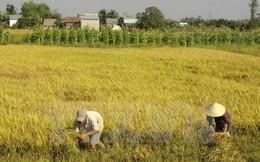 """Mua trúng giống lúa """"đểu"""", hơn 100 hộ nông dân Tây Ninh trắng tay"""