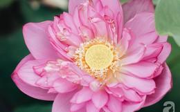 Trà dệt hương sen - thứ trà ủ cả ngàn bông sen Hồ Tây, cả chục triệu một cân vẫn đắt hàng của Hà Nội