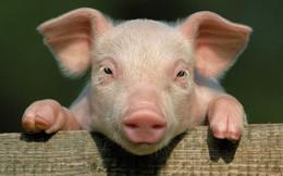 """Thịt lợn Việt Nam bước lên một """"nấc thang"""" mới?"""