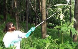 Một trong những loài cây nguy hiểm nhất thế giới đang xâm chiếm nước Mỹ: Chạm vào là bỏng như tự thiêu