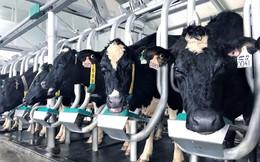 Vinamilk đầu tư nhập gần 200 bò A2 thuần chủng, quyết đem dòng sữa A2 chỉ mới xuất hiện tại rất ít quốc gia về cho người Việt