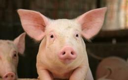 Giá lợn con tăng mạnh