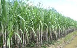 Giá đường giảm sâu, Mía đường Sơn La chuyển hướng tập trung bán thuốc trừ sâu và EPS vẫn đạt trên 12.600 đồng