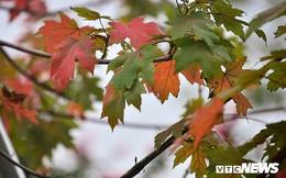 Ảnh: Cây phong lá đỏ bắt đầu chuyển màu trên phố Hà Nội