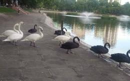 """Đàn thiên nga ở hồ Thiền Quang """"vật lộn"""" với trời nắng nóng 40 độ C ra sao?"""