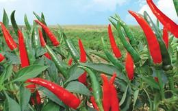 Thu về hàng trăm tỷ đồng từ bán ớt, HAGL Agrico hoàn thành hơn nửa chỉ tiêu lợi nhuận năm 2018 sau 6 tháng