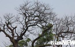 Ảnh: Cận cảnh những cây muồng trăm tuổi bỗng dưng chết khô bên tượng đài Nữ tướng Lê Chân ở Hải Phòng