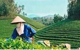 Giá chè Việt Nam xuất khẩu chỉ bằng 60-70% giá chè thế giới