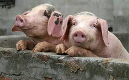 Hoành hành ở Trung Quốc, dịch cúm lợn châu Phi có nguy cơ lây lan tới Việt Nam, khiến giá thịt có thể tăng vọt