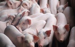 Khẩn cấp ngăn chặn bệnh dịch tả lợn Châu Phi vào Việt Nam