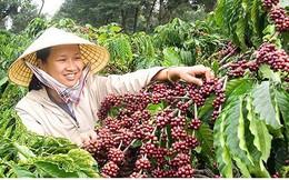 Nhiều diện tích cà phê tái canh ở Buôn Ma Thuột cho hiệu quả cao