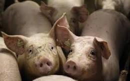 Giá lợn hơi tăng mạnh, lên đến 55.000 đồng/kg