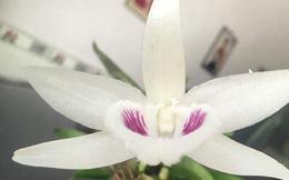 Ngắm gốc lan giả hạc 5 cánh trắng giá gần 7 tỉ đồng