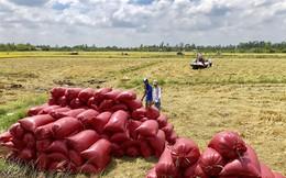 Vụ thu đông thất mùa, dự báo giá gạo có thể tăng