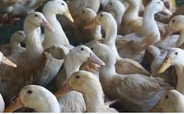 Nhiều nông dân trắng tay vì mua phải vịt giống kém chất lượng