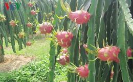 Nhà vườn trồng thanh long Bình Thuận đầu tư lứa hàng Tết
