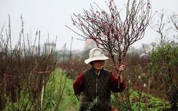 Đào nở sai thời điểm, rớt giá chỉ còn 50.000 đồng/cành, nông dân Nhật Tân như ngồi trên đống lửa