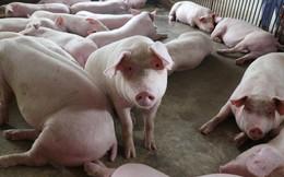 Giá thịt lợn hơi tăng mạnh, chạm mức 40.000 đồng/kg