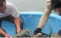 Nuôi tôm hùm ở Phú Yên có tiềm năng lớn, giá trị hàng ngàn tỷ đồng