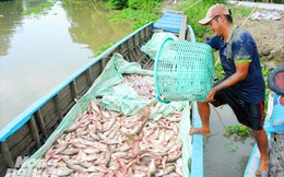Cận cảnh nuôi cá ruộng mùa lũ ở miền Tây không cho ăn vẫn lớn 'như thổi'